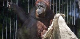 Orangutanica Raja namalowała obraz dla WOŚP