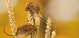 Potężny atak myszy na Opolszczyźnie. Chcą stanu klęski żywiołowej!