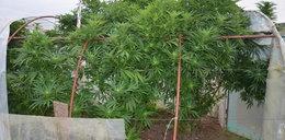 Bolesławiec: Uprawiał marihuanę pomiędzy pomidorami. Myślał, że się nie wyda?
