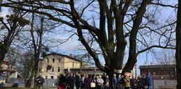 Chcą ściąć 200-letniego Karlika! Mieszkańcy protestują