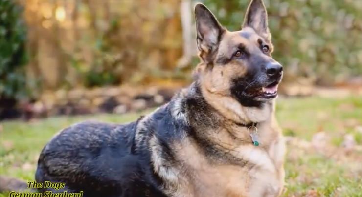 5b05a462a9 Ovo su 11 najpoznatijih rasa pasa iz Nemačke