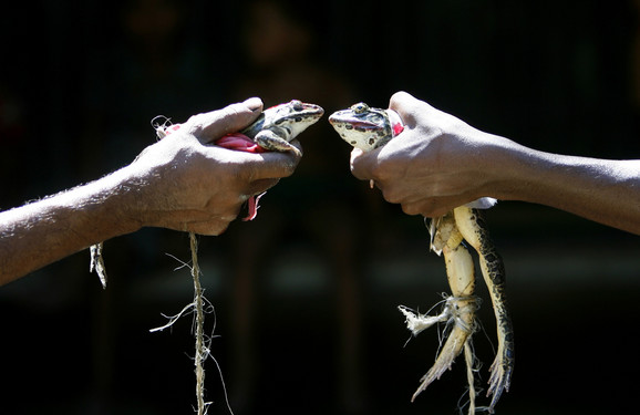 Mladenci: Venčavanje žaba u Indiji