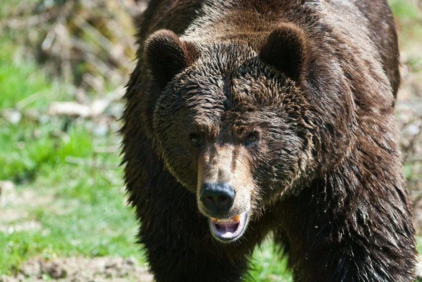 Niedźwiedź z Bieszczad będzie zabijał