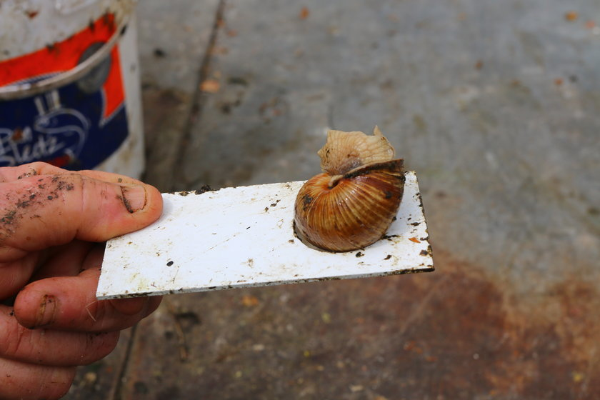 Jadwiga Sowa skupuje ślimaki