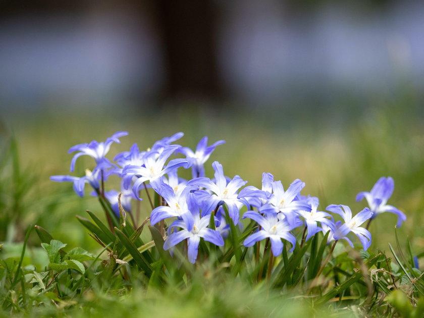 Wiosna w parku Klepacza. Zakwitły cebulice
