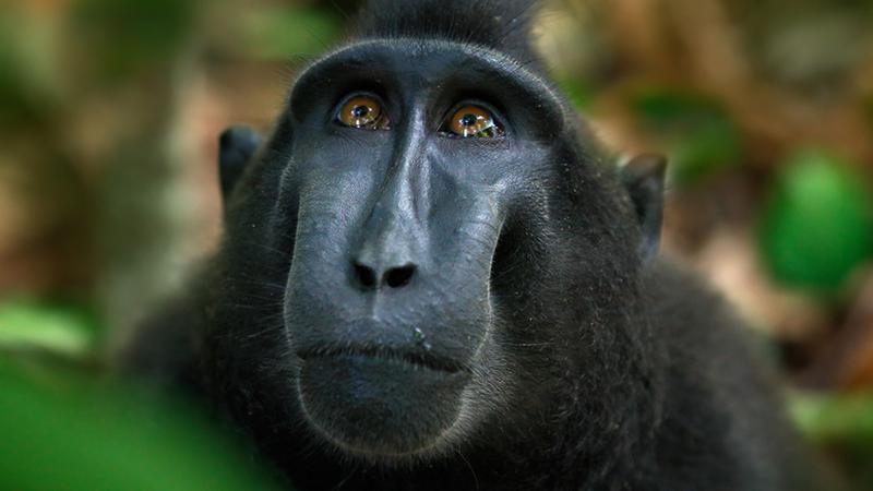 PETA przegrywa proces o prawo do zdjęcia makaka Naruto