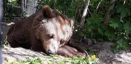 Smutek w warszawskim zoo. Nie żyje Tatra. Wpis żegnający niedźwiedzicę wyciska łzy...