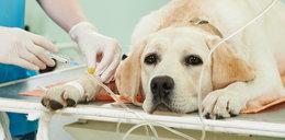 Nieznana zaraza zabija psy