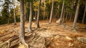 W Karkonoskim Parku Narodowym część drzew pozbawiona jest kory. Dlaczego?