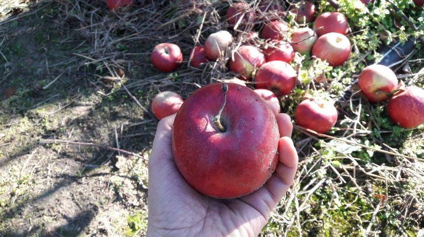 10 groszy za kilogram jabłek w skupie. Rolnicy załamani. Sady toną w owocach
