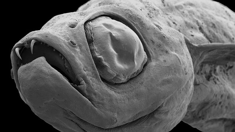 Naukowcy odkryli rybę-wampirka