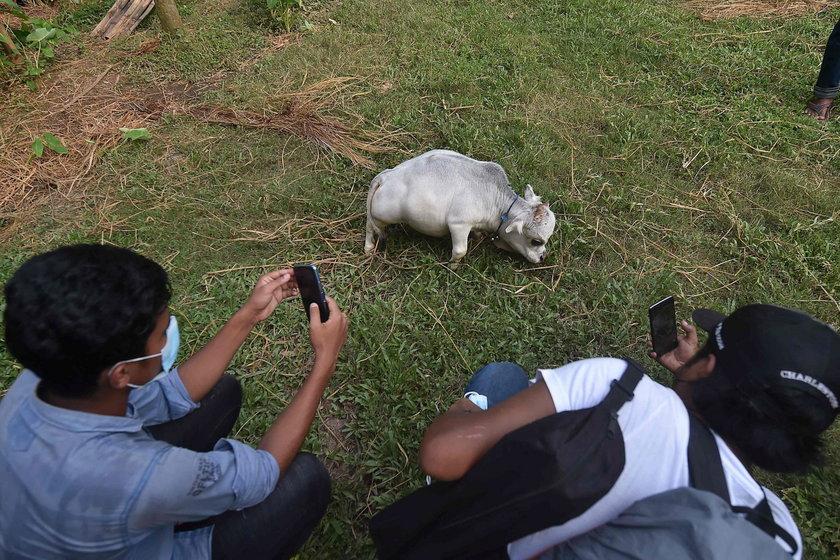 To najmniejsza krowa świata. Rani mierzy zaledwie 51 cm