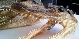 Tajemnicza przesyłka z Ameryki. W środku aligator!