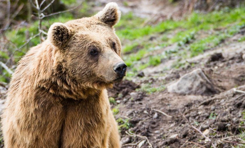 17-latka gołymi rękoma walczyła z niedźwiedzicą.