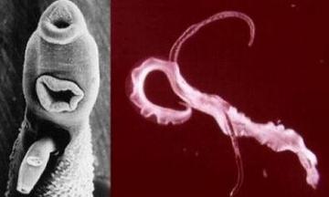 milyen parazita az anthurium hogyan távolítják el a parazitákat