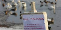 Coraz więcej przypadków ptasiej grypy na Pomorzu. Gdańsk obszarem wysokiego ryzyka