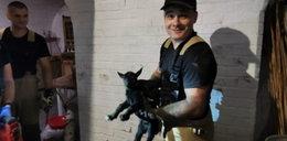 Takiej interwencji jeszcze nie było! Koza wpadła do komina twierdzy w Nysie