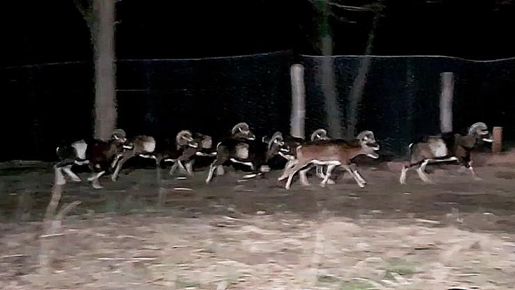 Stiglo 60 muflona iz Ceske i Slovacke