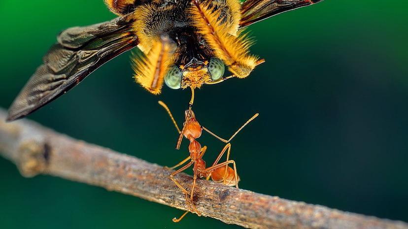 hangyák és merevedés