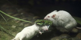 Tak dzielna myszka ratowała koleżankę przed wężem!