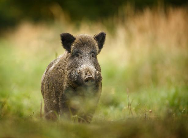W Polsce od połowy lutego 2014 roku wykryto 3317 przypadków ASF u dzików i 213 ognisk choroby u świń. Od końca września ub.r. nie wykryto żadnego nowego ogniska choroby u trzody chlewnej.