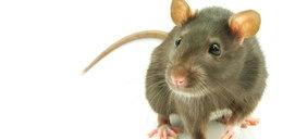 Człowiek zaraził się szczurzym zapaleniem wątroby!