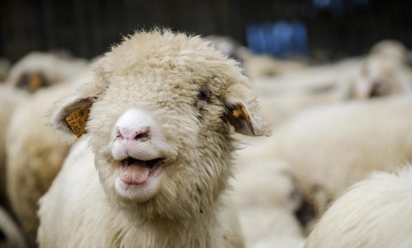 Lossod w Zabnicy na Hali Boraczej czyli jesienny sped owiec z hal