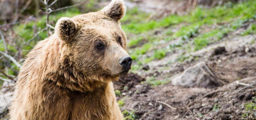 Nastolatka ruszyła na niedźwiedzicę, by ratować psy. Zaskakujące nagranie