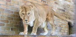 Będzie muzeum lwa