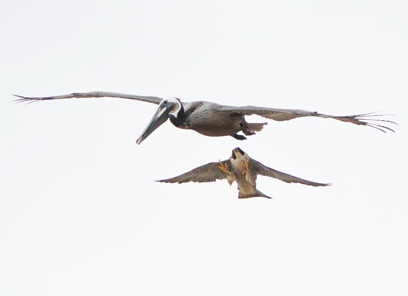 3aea8f98b860 A pelikán túl közel repült a fészekhez, ezzel feldühítette a fiókáit féltő  sólymot /Fotó: Northfoto