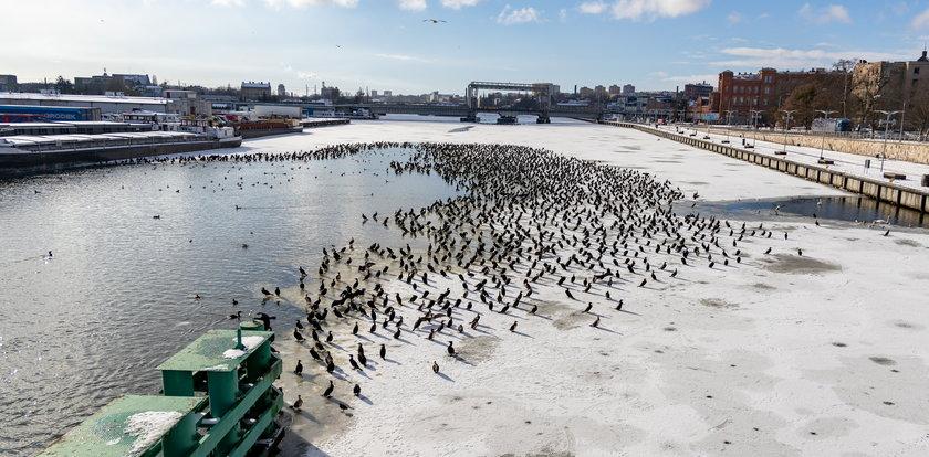 Zdumiewający widok w Szczecinie. Setki kormoranów gromadzą się w centrum miasta. Powód jest niepokojący