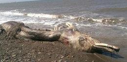 Ogromny morski potwór. Ma futro i zęby!