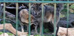 Wilki zamieszkają w zoo