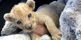Kolejny bezpański lew w mieście. Skąd się one biorą?
