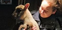 Owca w rękach polskiej policji. Co przeskrobała?