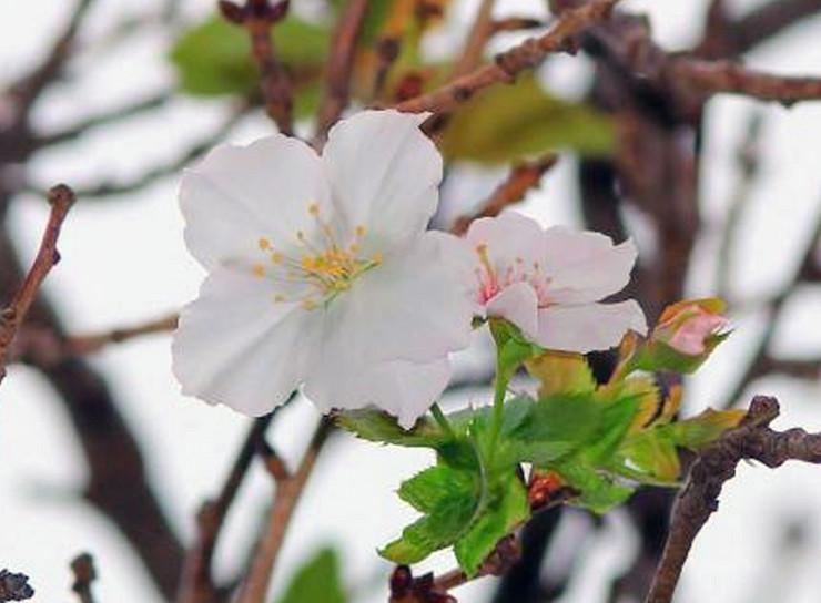 japanske trešnje