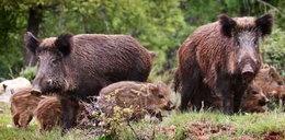 Dziki grasują w Małopolsce