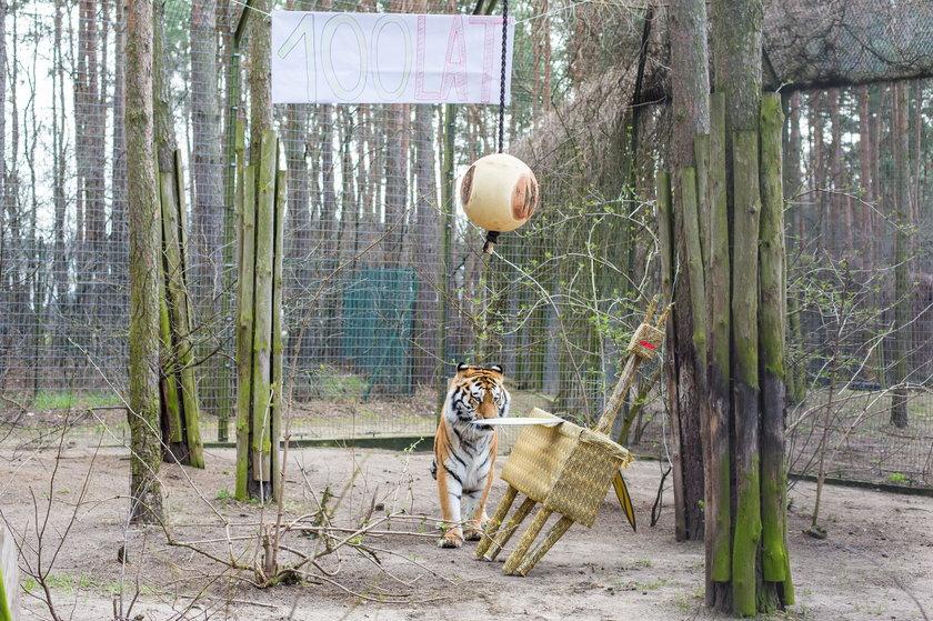 Tungus, tygrys mieszkający w Poznaniu, obchodził urodziny w Prima Aprillis