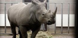 Nowy nosorożec w Śląskim Ogrodzie Zoologicznym. Witaj Nambi!