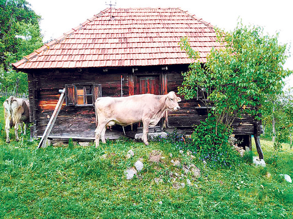 Mišovići i Cikići uzgajaju sami krave, pa imaju i svoju sirovinu. Kažu da su sveža trava i suvo seno glavni u prehrani krava tokom letnjih meseci, što utiče i na kvalitet mleka, pa i njihovog sira