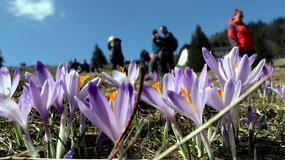 17 tys. turystów oglądało krokusy w Dolinie Chochołowskiej