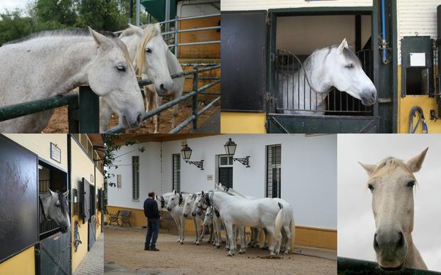 Hodowla koni Yeguada de la Cartuja