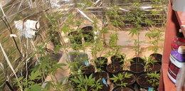 Prowadził w domu profesjonalną plantacje marihuany
