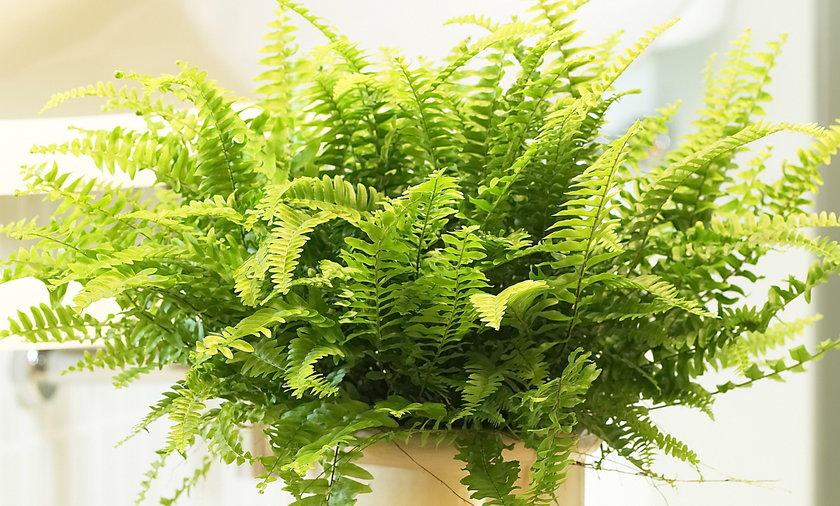 Nefrolepis wysoki, czyli popularna niegdyś paprotka, bije rekordy w tempie usuwania formaldehydu przez rośliny pokojowe