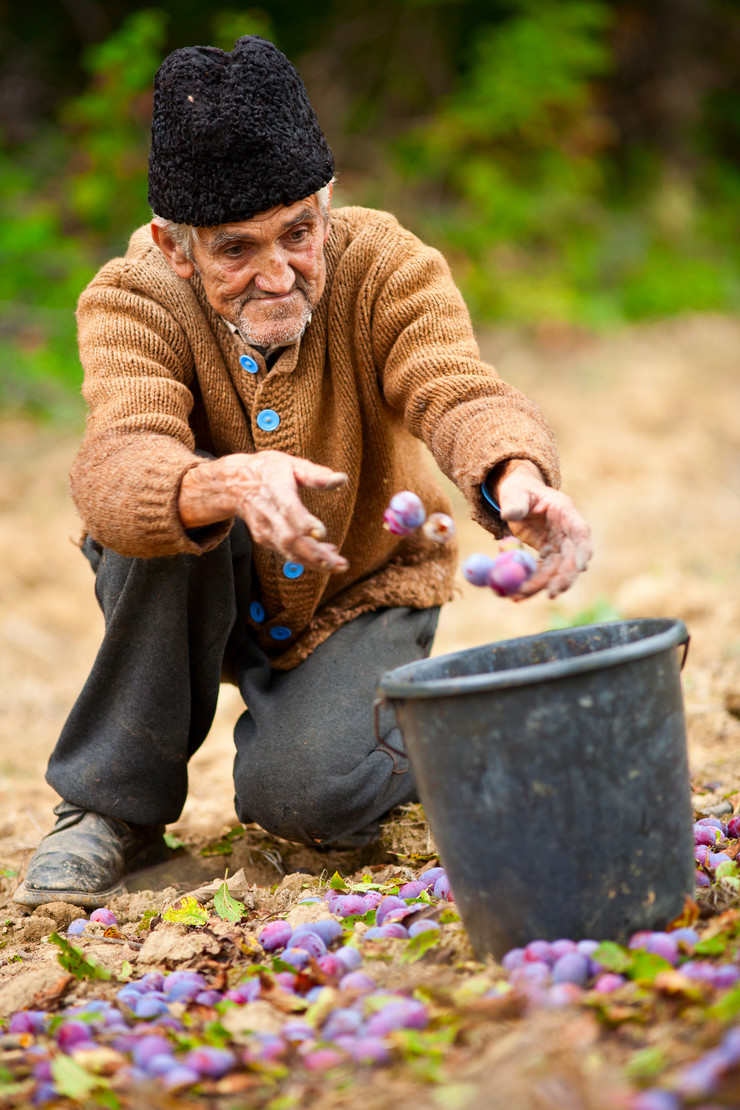 stock-photo-old-farmer-picking-plums-in-a-bucket-66308512
