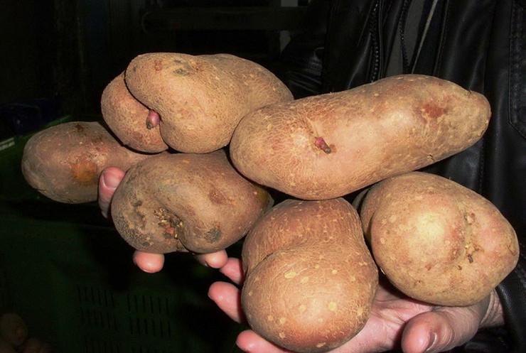 krompir-Foto-Milan-Pilipovic