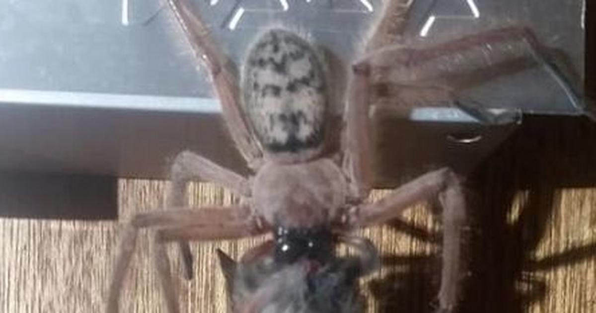 A Giant Hunstman Spider Was Spotted Eating A Pygmy Possum