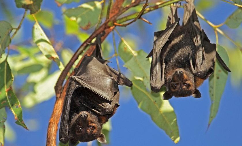 Nietoperze terroryzują miasteczko Ingham w Australii