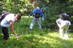 Surdulica 7 Berba borovnica Foto V Pesic