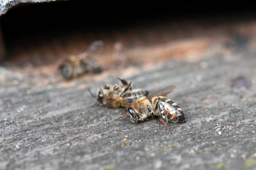 Filadelfia. Pół miliona pszczół zginęło w samochodzie firmy kurierskiej